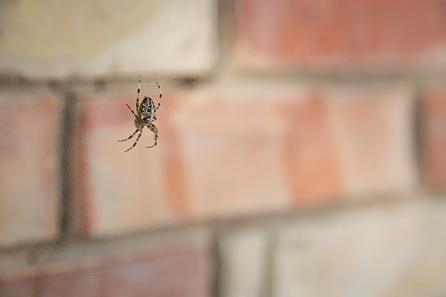 Aranha-jardim-aranha (lat. araneus)