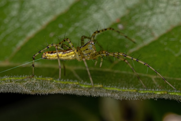 Aranha lince adulta da espécie peucetia rubrolineata