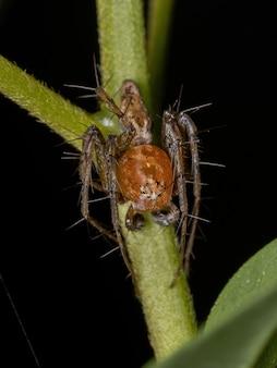 Aranha lince adulto macho do gênero hamataliwa