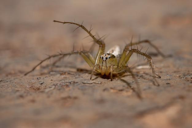 Aranha-lince listrada da espécie oxyopes salticus