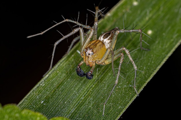 Aranha lince listrada macho do gênero oxyopes