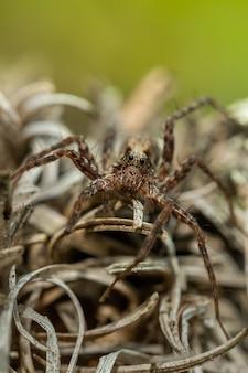 Aranha-lobo (acantholycosa lignaria) sentada em uma rocha