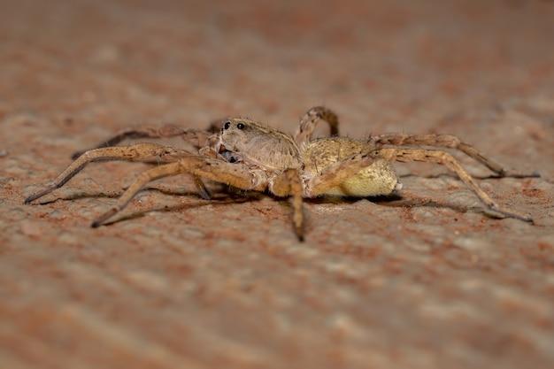 Aranha-lobo da família lycosidae