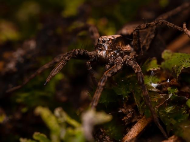 Aranha-lobo de pernas finas (pardosa sp.) sentada no chão.