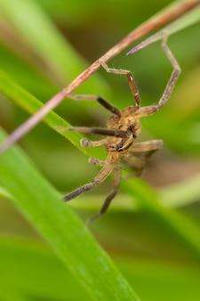 Aranha-lobo (lycosidae) sentado e caçando na grama.