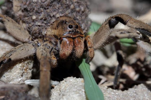 Aranha mãe que carrega bebês aranhas em seu corpo
