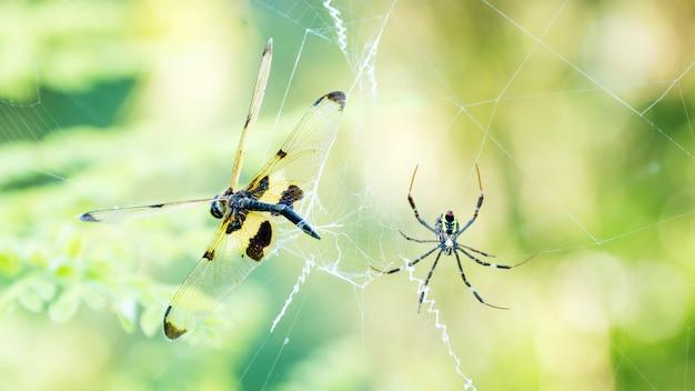 Aranha matar uma libélula em uma teia de aranha.