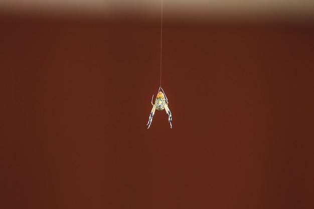 Aranha multicolorida com presa