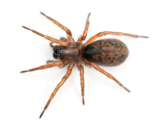 Aranha ninho enredada aranha noturna ou tecelão hacklemesh coelotes terrestris isolado