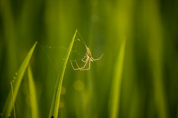 Aranha no campo