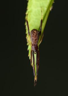Aranha pequena teia de emaranhada escura (episinus truncatus)