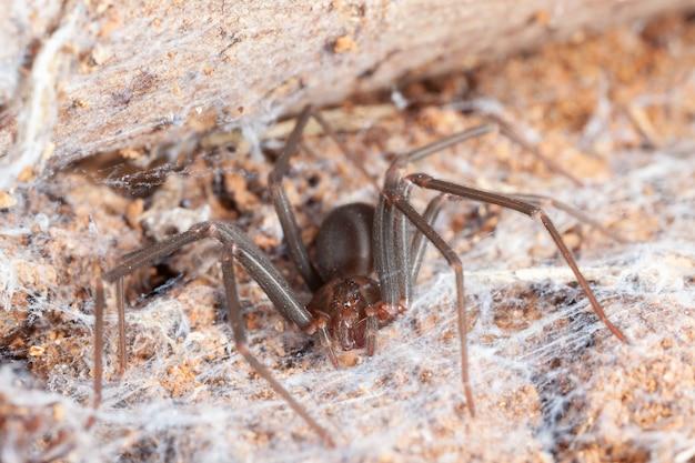 Aranha reclusa em habitat natural - perigosa aranha venenosa