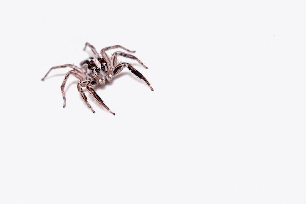Aranha saltadora isolada