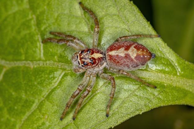 Aranha saltadora masculina do gênero frigga