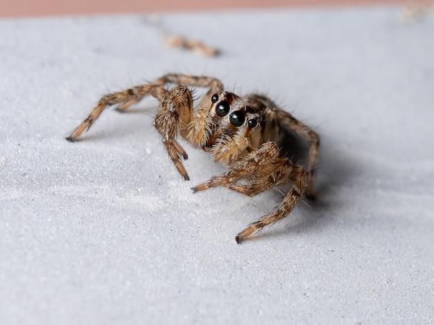 Aranha saltadora pantropical da espécie plexippus paykulli
