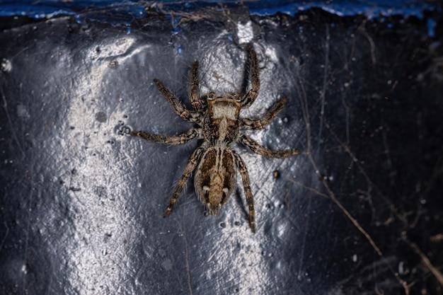 Aranha saltadora pantropical fêmea adulta da espécie plexippus paykulli