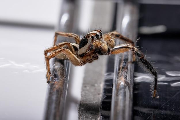 Aranha saltadora pantropical macho da espécie plexippus paykulli