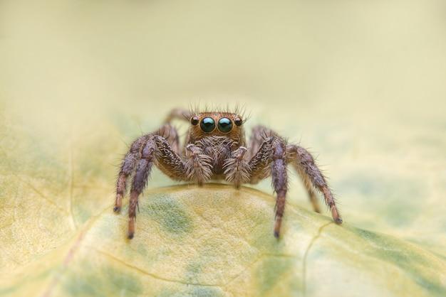 Aranha saltadora