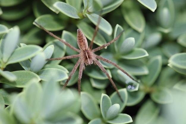 Aranha teia de berçário (pisaura mirabilis, fêmea))