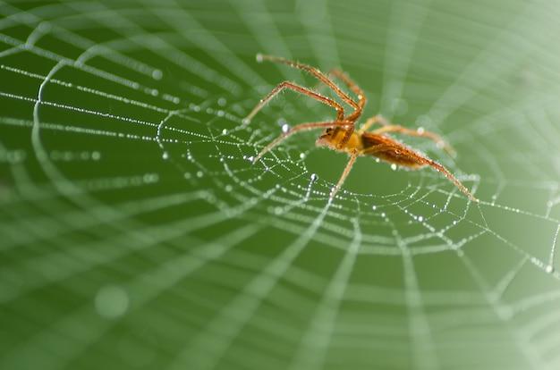 Aranha vermelha selvagem