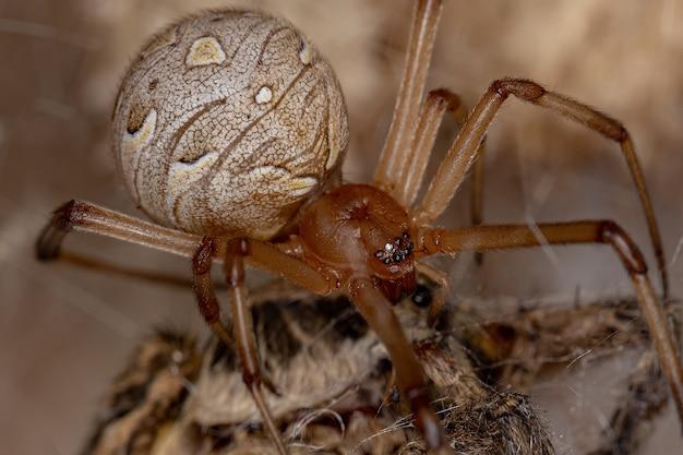 Aranha viúva marrom da espécie latrodectus geometricus atacando uma aranha-lobo adulta da família lycosidae