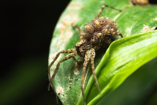 Aranhas de lobo carregando seus bebês nas costas. esgueirar-se atrás das folhas verdes