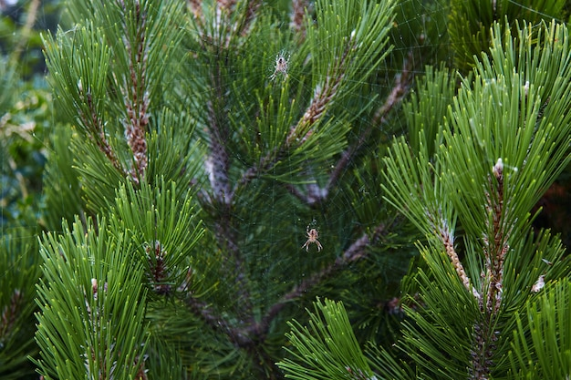Aranhas em uma teia entrelaçada em galhos de pinheiro