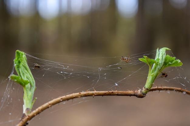Aranhas tecem aranhas na floresta
