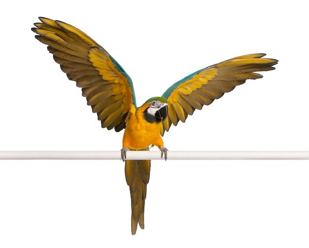 Arara azul e amarela, ara ararauna, asas empoleiradas e batendo no branco isolado
