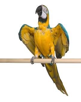 Arara-azul-e-amarela jovem empoleirar-se