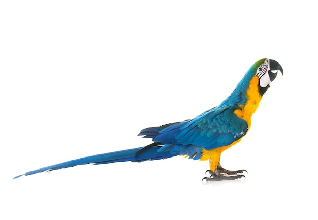 Arara azul-e-amarela no estúdio