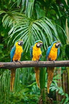 Arara azul e amarela