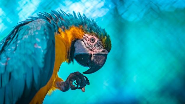 Arara azul-e-amarela