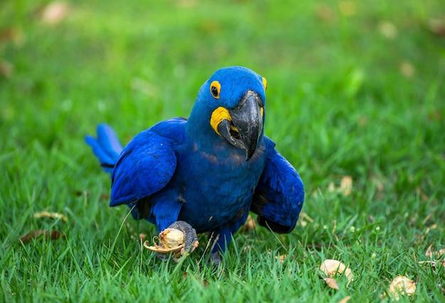 Arara-azul está sentada na grama e comendo nozes