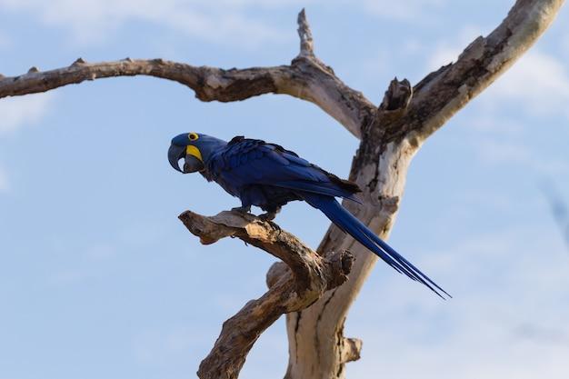 Arara-azul perto do pantanal, brasil. fauna brasileira. o maior papagaio do mundo. anodorhynchus hyacinthinus