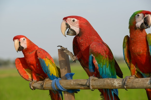 Arara bonita, pássaro colorido encantador da arara.