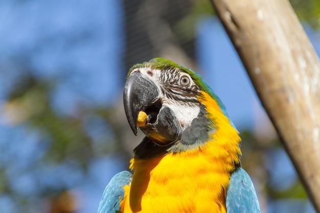 Arara comendo em um galho de árvore ao ar livre no rio de janeiro, brasil.