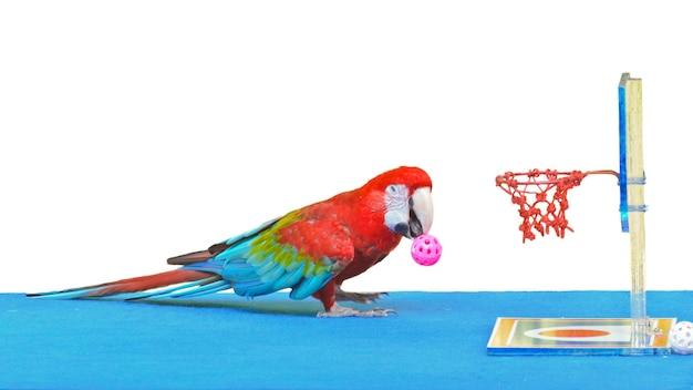 Arara-de-asa-verde, nome científico ara chloroptera jogando basquete é divertido em fundo branco
