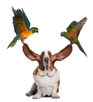 Arara e periquito dourado tampando as orelhas de um basset hound sentado