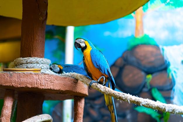 Arara-papagaio amarelo azul sentado na corda.