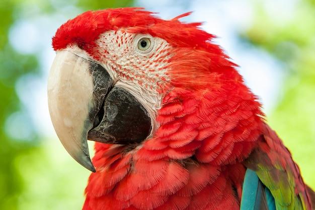 Arara papagaio vermelho
