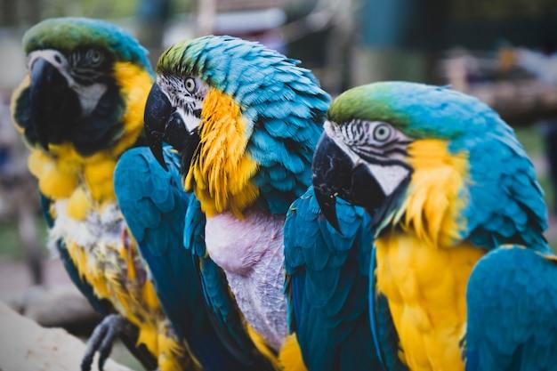 Arara papagaios em galhos, papagaios coloridos amarelos azuis no zoológico.