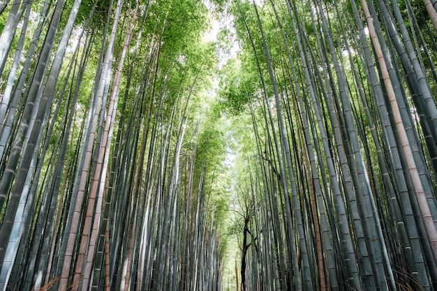 Arashiyama bamboo groves floresta no japão