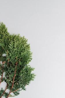 Arborvitae folhas em um fundo branco