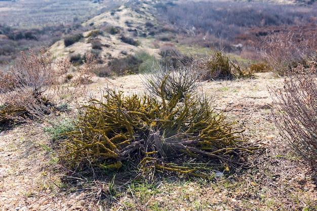 Arbusto coberto de musgo seco na estepe