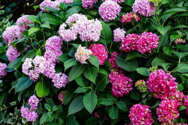 Arbusto com belas hortênsias lilás e rosa em um fundo floral de parque de verão