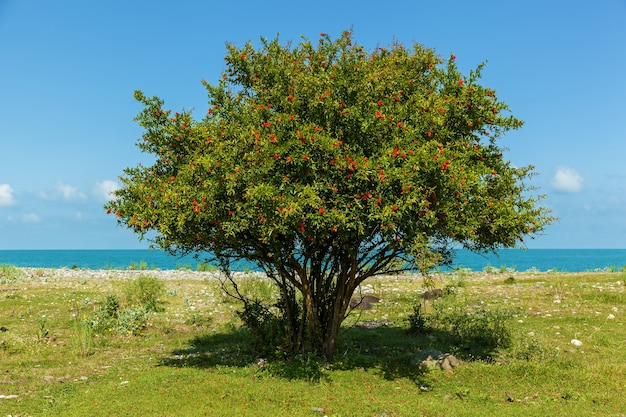 Arbusto com flores vermelhas de romã perto do mar azul, arbusto e flores de romã