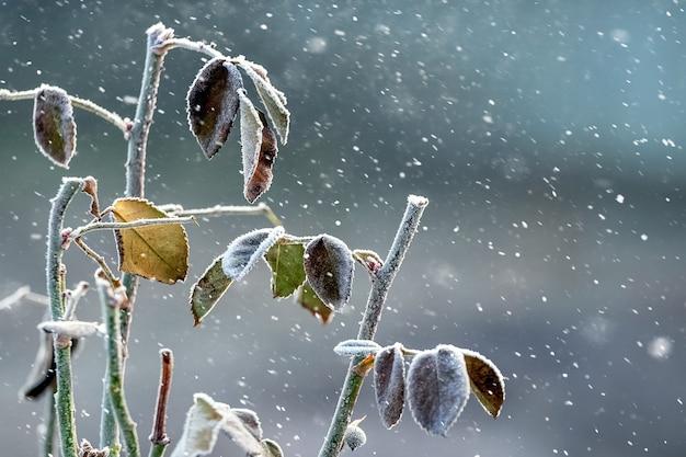 Arbusto com folhas secas durante a queda de neve, fundo de natal de inverno