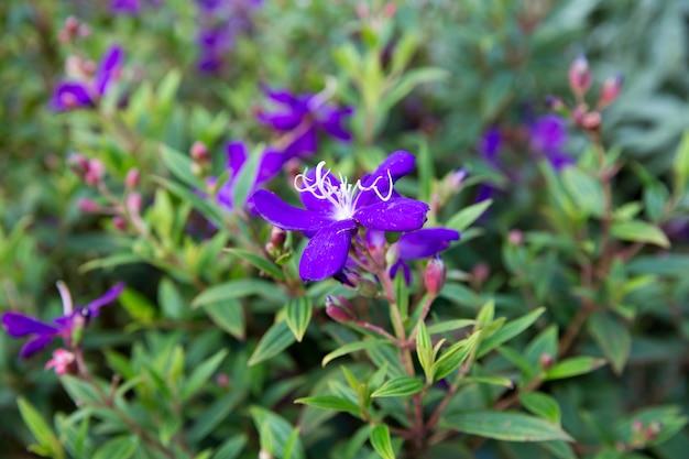 Arbusto da glória, flor da aranha brasileira, lasiandra, flor da princesa, pleroma, árvore da glória roxa, é um pequeno arbusto com folhas verdes.