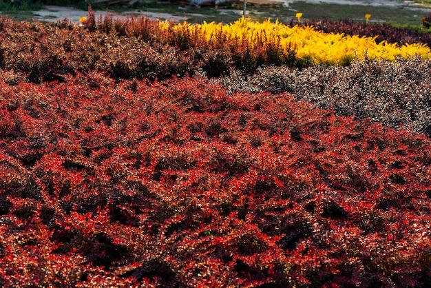 Arbusto de bérberis em vasos para o plantio, arbustos multicoloridos no centro do jardim